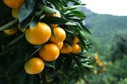 温州みかん含まれる栄養素